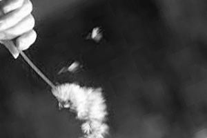 blowing_dandelion_bw_web
