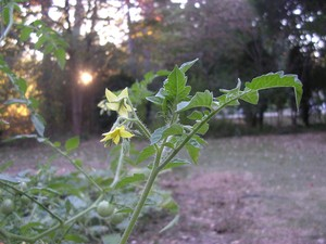One of My Tomato Plants Silently Blooming.